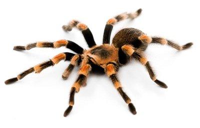 red-knee-tarantula2.jpg (400×257)